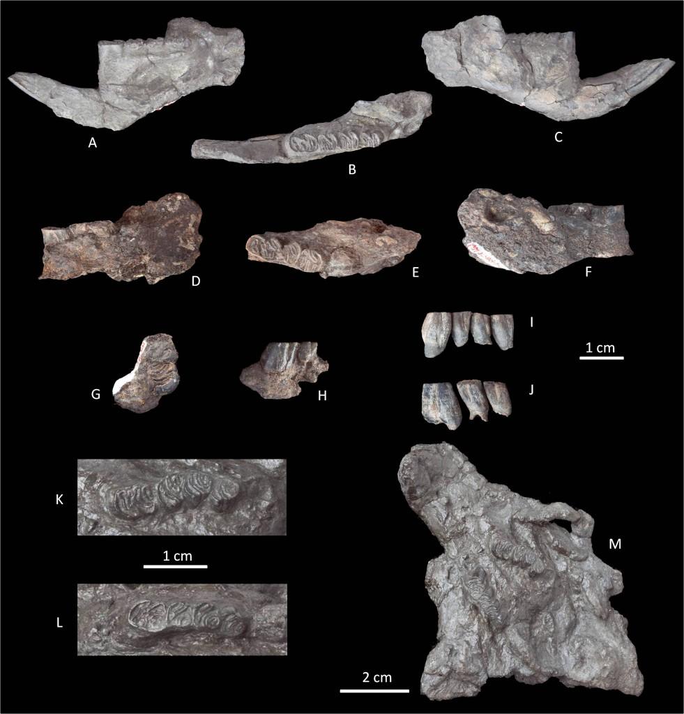 ซากดึกดำบรรพ์ของ Steneofiber siamensis ที่ค้นพบในเหมืองแม่เมาะ จังหวัดลำปาง และเหมืองเชียงม่วน จังหวัดพะเยา (modified from Suraprasit et al., 2011)